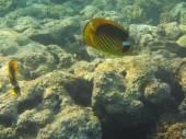 Fish and corals Red Sea — Stock fotografie