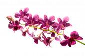 Orquídea roxa isolada em um fundo branco — Fotografia Stock