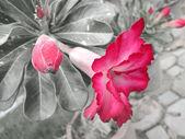 Impala lily adenium — Stock Photo