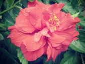 Röd hibiscus blomma på naturen — Stockfoto