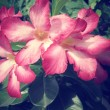 Impala lily adenium - pink flowers — Stock Photo #54621637