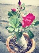 Impala lily adenium - pink flowers — Stock Photo