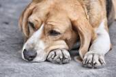 Hond slapen — Stockfoto