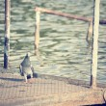 Pigeon bird. — Stock Photo #57919107