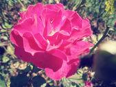 Rosa vintage — Fotografia Stock