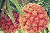 Frutos de palma — Foto de Stock