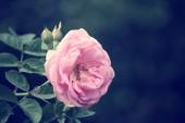 Vintage rose — Stockfoto