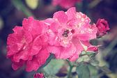 Vintage roses — Photo