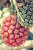 Palm fruits — Stock Photo