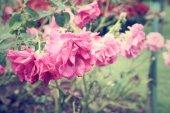Rosas vintage — Fotografia Stock