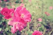 Винтажные розы — Стоковое фото