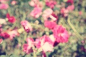 Blurred of roses flowers — Стоковое фото