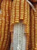 Dried corns — Stock Photo
