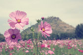 Field of pink cosmos flowers — Stock Photo