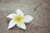 White frangipani flower — Stock Photo