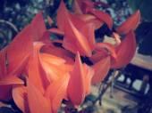 Orange flower of Newguinea Creeper — Stock Photo