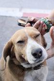 Beagle dog with smart phone — Stockfoto