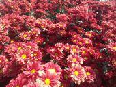 Red chrysanthemum flowers — Stock Photo