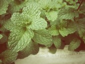 Pepper mint leaves — Stock Photo