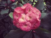 Euphorbia milii - red flower — Stock Photo