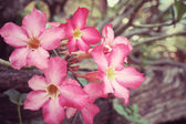 Vintage impala lily flowers — Stock Photo