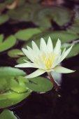 Vintage lotus flower — Stockfoto