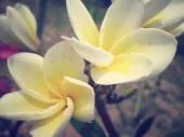 White frangipani flower on tree — Stock Photo