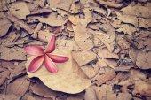 Pink frangipani flower in autumn  — Stock Photo