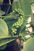 Taze yeşil peper peper ağaç üzerinde — Stok fotoğraf