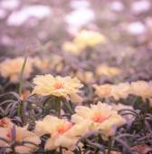 Yellow Portulaca flower — Stockfoto