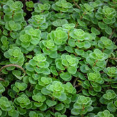 Echeveria plants — 图库照片