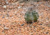 Goat's horn cactus on colorful stone — Stock Photo
