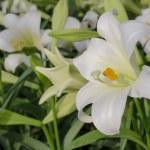 Lilium longiflorum (Easter lily) — Stock Photo #65756161