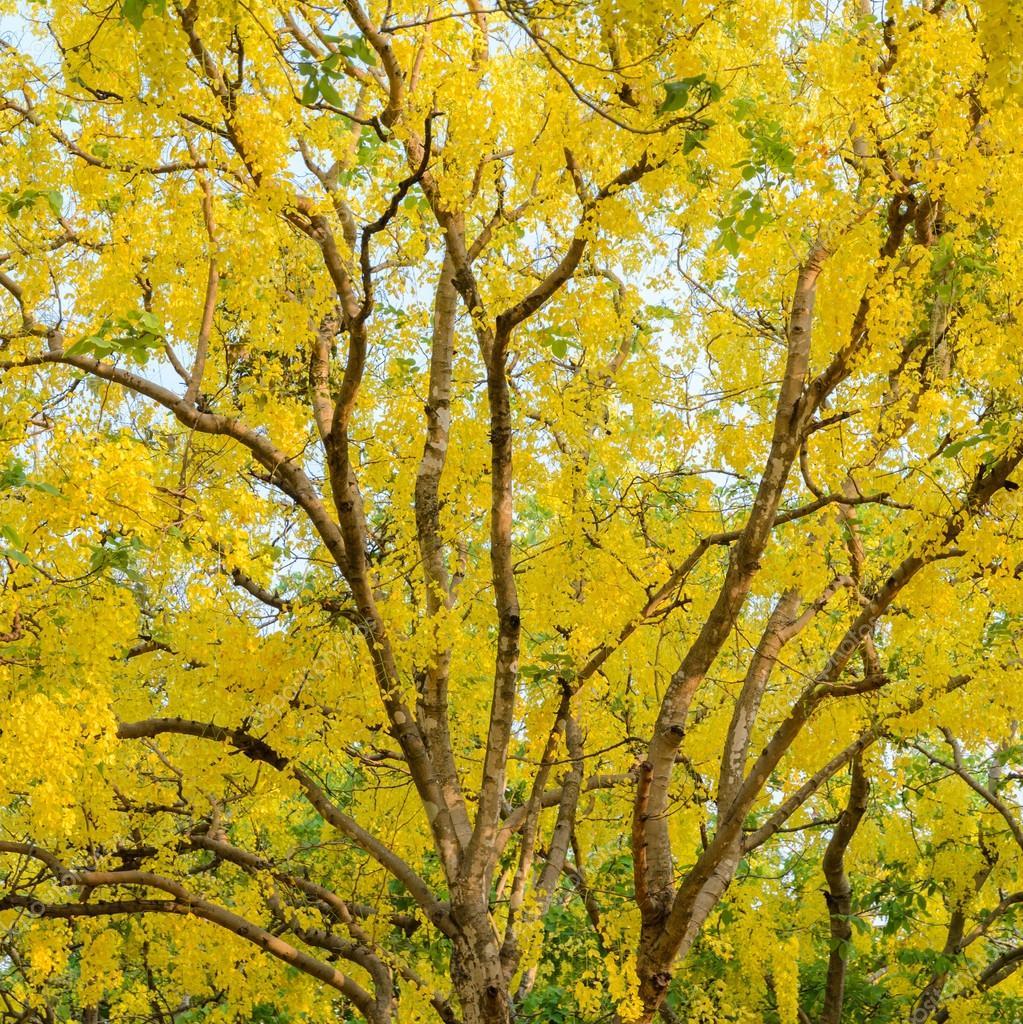 Lluvias doradas
