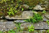 Maidenhair spleenwort  — Zdjęcie stockowe