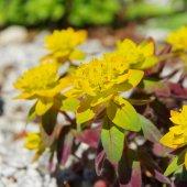 Euphorbia bonfire  — Stock Photo