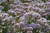 Cuckoo Flower  — Stock Photo