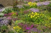 Blooming aubrieta plants — Stock Photo