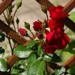 Red rose bush — Stock Photo #61783743