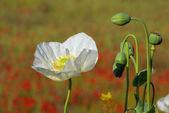 Blooming poppy flower — Stock Photo