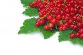 Fresh healthy currant — Stock Photo
