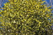 Traditional Mistletoe tree — Stock Photo