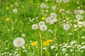 Dandelions and daisies in grass — Stock Photo