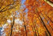 Beech forest in fall — Stok fotoğraf