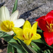 Wild tulip Tulipa kaufmanniana  — Stock Photo #74843197