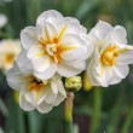 Daffodil Sir Winston Churchill  — Stock Photo #74855255