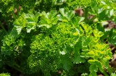 Parsley in garden closeup — Stock Photo