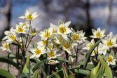 Wild tulips closeup — Stock Photo
