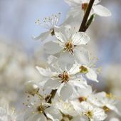 Plum blossom on branches — Stock Photo