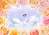 Swans in love framed by roses and cherry flowers — Stock Photo